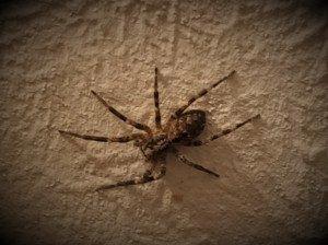 Une belle araignée parisienne en gros plan